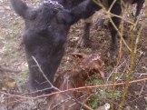 2013 Bull Calf ~ Monty