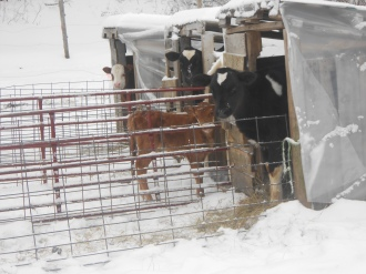 Calves in their lil calf huts ...