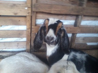 Annablelle snug and warm in the goat shed